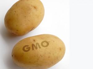 gmo krumpli